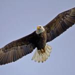 Squamish Eagle Watching
