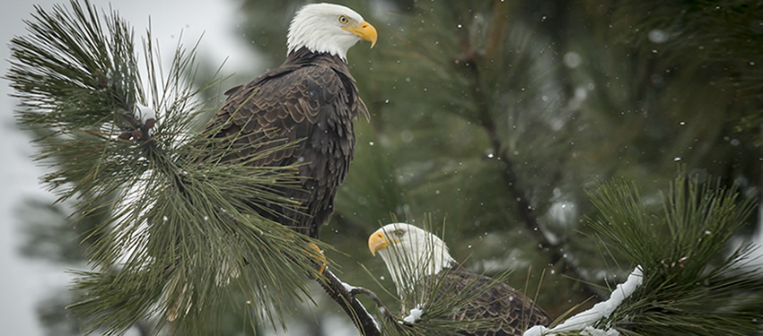 Brackendale Eagle Count Is Up Squamish Accommodations